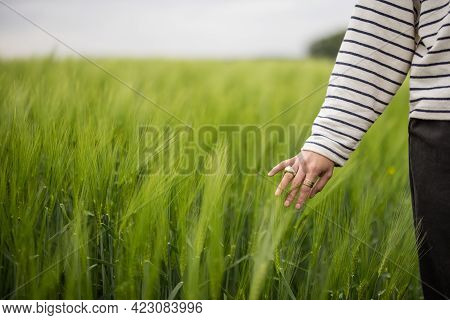 Green Rye Field. Woman Hand Touching Ears Of Rye. Rich Harvest Concept. Farmer Or Agronomist Checks