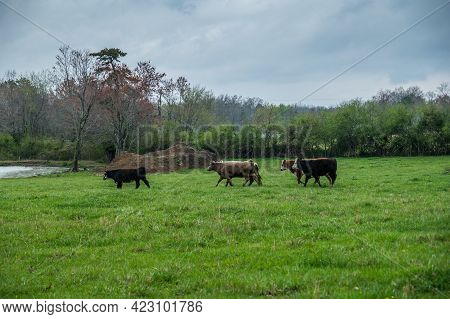 A Group Of Cows In A Farm Field Started To Run Away When It Began To Rain On A Overcast Day In Sprin