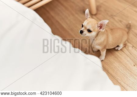 Beautiful small dog chihuahua trying to get on the bed at the bedroom at home, waiting and asking to be hold