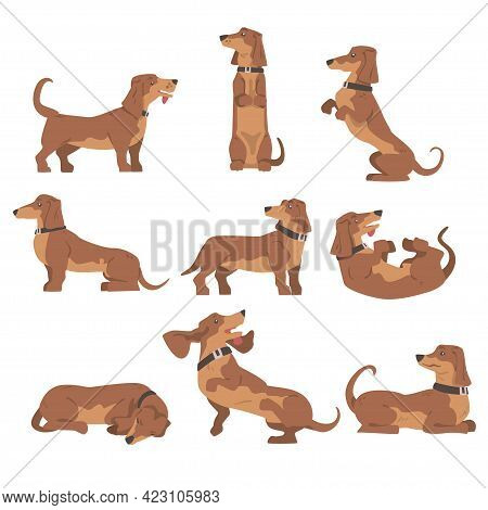 Dachshund Or Badger Dog As Short-legged And Long-bodied Hound Breed With Collar In Different Poses V