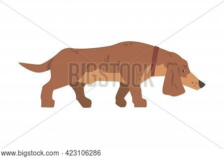 Dachshund Or Badger Dog As Short-legged And Long-bodied Hound Breed With Collar Walking Vector Illus