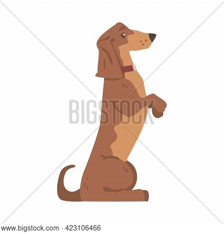 Dachshund Or Badger Dog As Short-legged And Long-bodied Hound Breed With Collar Standing On Hind Leg