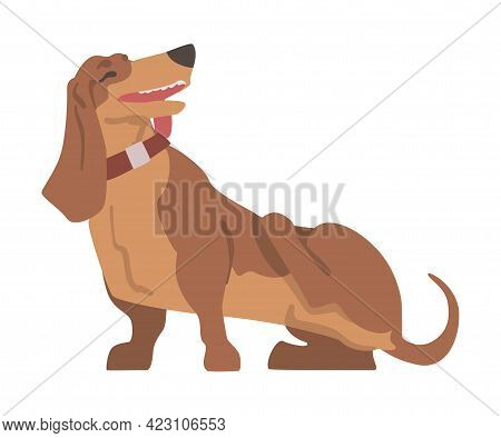 Dachshund Or Badger Dog As Short-legged And Long-bodied Hound Breed With Collar Standing And Scratch