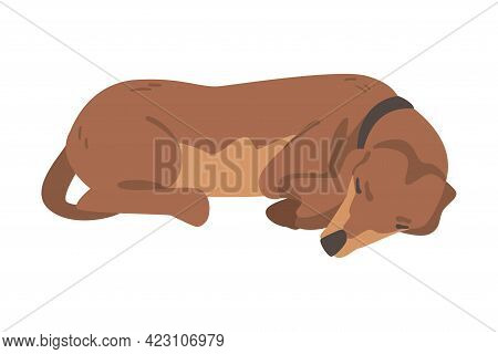 Dachshund Or Badger Dog As Short-legged And Long-bodied Hound Breed With Collar Lying And Sleeping V