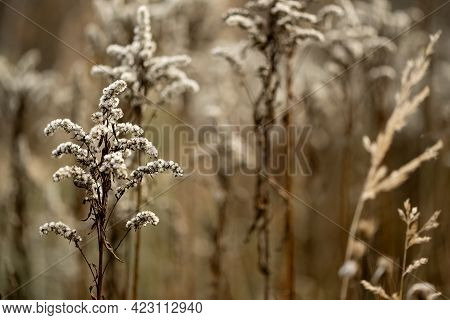 Dry Goldenrod Flower In Autumnal Field Natural Background