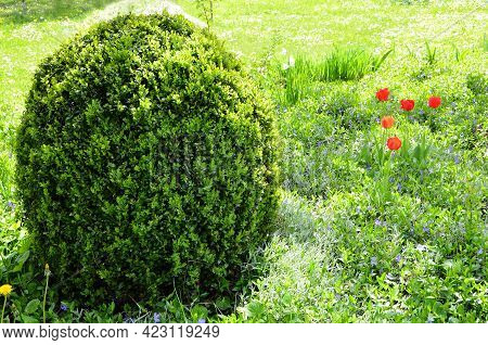 Boxwood Shrub Trimmed Into A Round Shape In The Garden