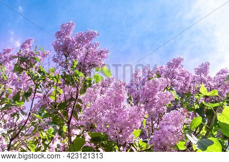 A Lot Of Flowering Lilac Bush Against The Blue Sky. Banner For Text, Copyspace