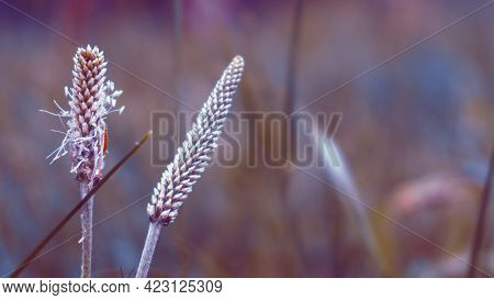 Flowers Of Perennial Grassy Psyllium. The Flowering Period Of The Average Psyllium. It Is Used In Fo