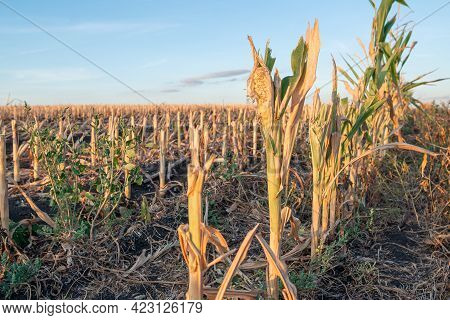 Cut Corn Stubble And Chaff In An Autumn Field After The Harvesting Of The Maize Crop At Sunset