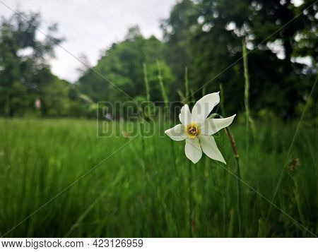White Daffodils Narcissus In The Field - White Daffodils Narcissus In The Field. Meadow With Wild Da