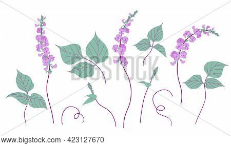 Simple Dolichos Flowers And Green Leaves Isolated On White Background. Blooming Purple Decorative Tw