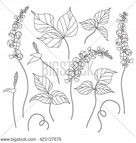 Simple Dolichos Flowers And Leaves Sketch. Hand Drawn Black And White Blooming Decorative Twisted Le