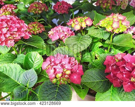 Beautiful Pink And Red Hydrangea Flowers In Pots