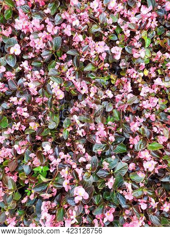 Pink Begonia Cucullata Also Known As Wax Begonia And Club Begonia.