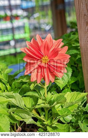 Close-up Of A Beautiful Dahlia Flower Seedling In The Garden Center