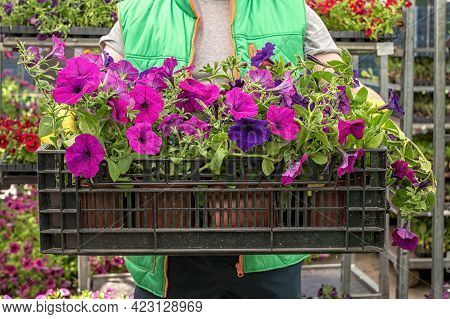Florist Hold Box Full Of Petunia Flowers. Gardener Is Carrying Flowers In Crate At Shop. Preparing F