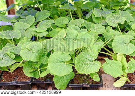 Zucchini Seedlings In Trays At An Organic Farm Or Garden Center