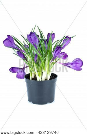 Bunch Of Violet Crocuses In Black Flowerpot Isolated On The White Background