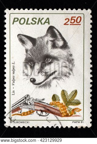 Poland - Circa 1984: Stamp Printed In Poland Showing Wild Fox. Postal Stamp About Fox And Hunting. P