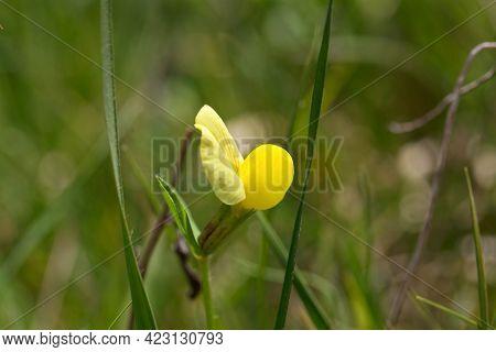Flower Of A Dragons Teeth, Tetragonolobus Maritimus
