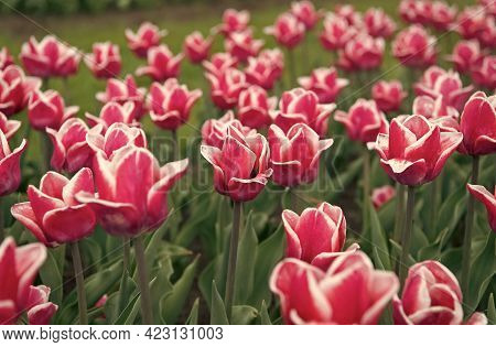 Spring Landscape Park. Country Of Tulip. Beauty Of Blooming Field. Famous Tulips Festival. Nature Ba