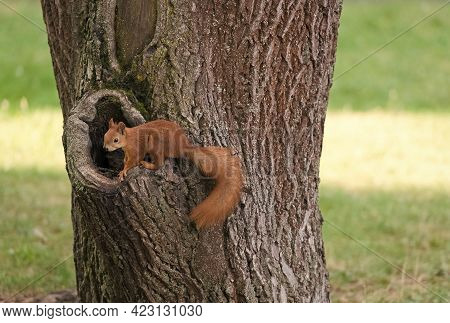Cute And Fluffy. Red Squirrel In Park. Squirrel At Hollow Of Tree Trunk. Cute Furry Animal On Natura