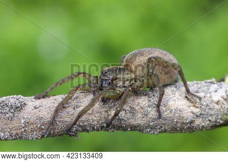 Spider On A Branch On A Green Background, Wildlife Landscape.