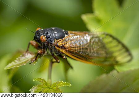 Newly Transformed, A 17-year Brood X Cicada Basks In The Warm Sunlight.