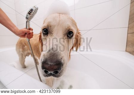 Adorable golden retriever dog taking bath at home and looking at the camera. Hand of owner holding shower and cleaning funny doggy pet with foam. Lovely labrador during showering with shampoo