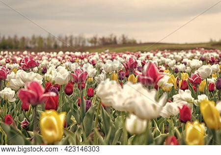 Ultimate Guide To Tulips Season In Holland.tulip Fields Colourfully Burst Into Full Bloom. Tulips Ro