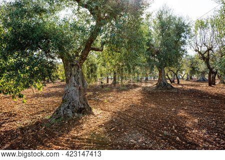 Olive trees  in traditional plantation, Puglia (Apulia),  Italy