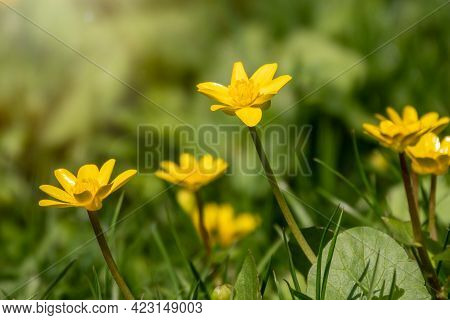 Lesser Celandine, Ranunculus Ficaria, One Of The First Spring Wildflower. Hello Spring