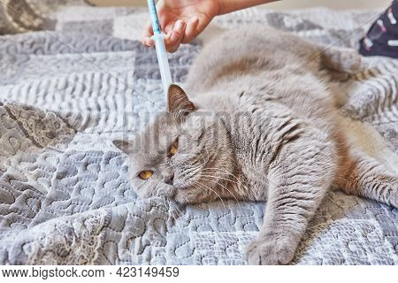 Teenage Girl Syringes Fleas And Ticks On A Shorthaired Gray British Cat