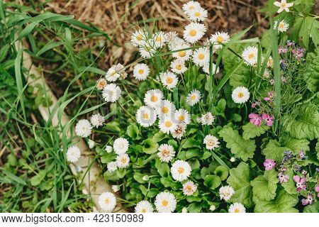 White Marguerite Flowers In The Garden. Decorative Flowers On The Site. Flowers Similar To Daisies.