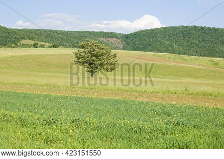 View Of Isolated Tree In A Spring Field Near Annifo In Umbria, Italy