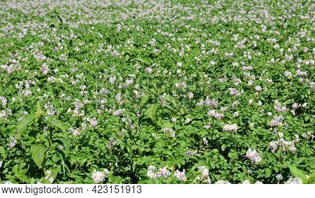 Growing Potatoes. Flowering Potato Plants With White, Pink Blossom. Flowering Potato Background.