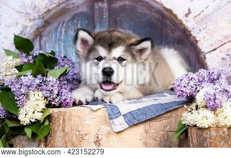Alaskan Malamute puppy lies on a hemp, lilac flowers are all around