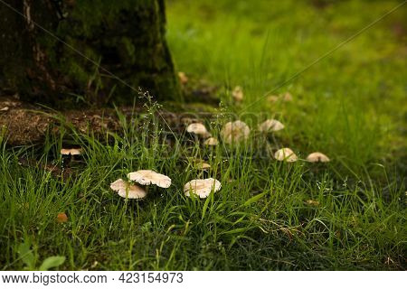 Poisonous Toadstool Mushrooms In A Forest Glade In Green Grass