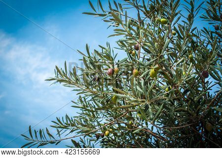 Olives On Olive Tree In Autumn. Season Nature Image. Blue Sky And Clouds. Summer Day, The Harvest Is