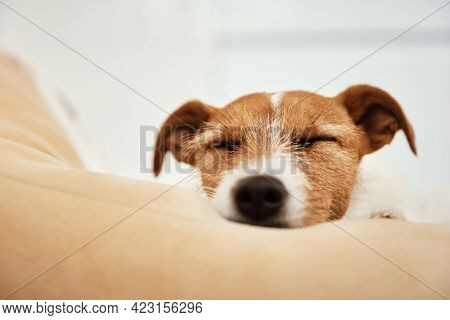Jack Russell Terrier Dog Sleeps In Bed, Close Up Portrait