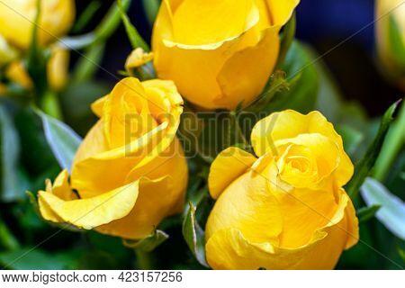 Closeup Of Beautiful Yellow Nice Rosses,macro Yellow Rosses Close-up.indoors Inside Shot.