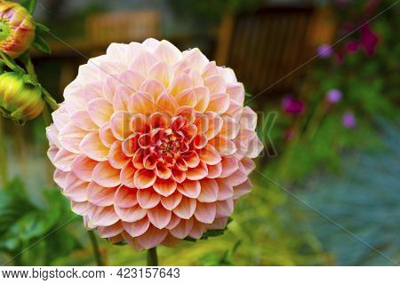 Pompom Dahlia Blooming Peachy Flower, Summer Garden With Blooming Flower Backgrounds