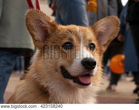 wet Pembroke Welsh Corgi Dog during a walk in the city center after rain