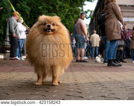 Lapdog pomeranian Spitz dog on walkway in the city.
