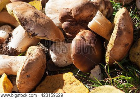 Cut Porcini Mushrooms, Boletus And Parasol Mushrooms Lie In Heap In A Sunny Meadow. Harvest Of Mushr