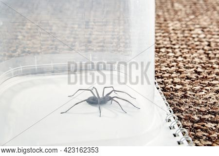 Big Predatory Spider Trapped. Isolated On White Background. Large Representative Of The Domestic Ara