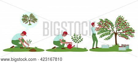 Cherry Tree Care Illustrations Set. The Gardener Has Planted A Plant. Watering A Cherry Tree From A