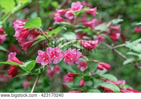 Flowering Weigela. Weigela Japonica Low-growing Shrub With Red And Pink Flowers.