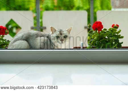British Shorthair Cat Lies On The Windowsill And Looks Inside The Room. Blooming Geraniums Outside T