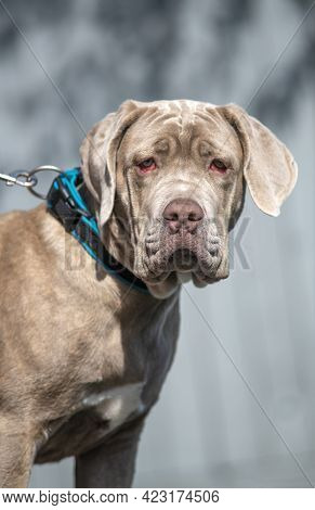 Large Dog Wearing  Collar And Lead Suffering With Conjunctivitis Also Knpw As Red-eye Or Pink Eye, T